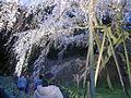 Okuyamada-Shidarezakura-1.jpg