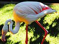 Old Greater Flamingo Adelaide Zoo dailyshoot.jpg