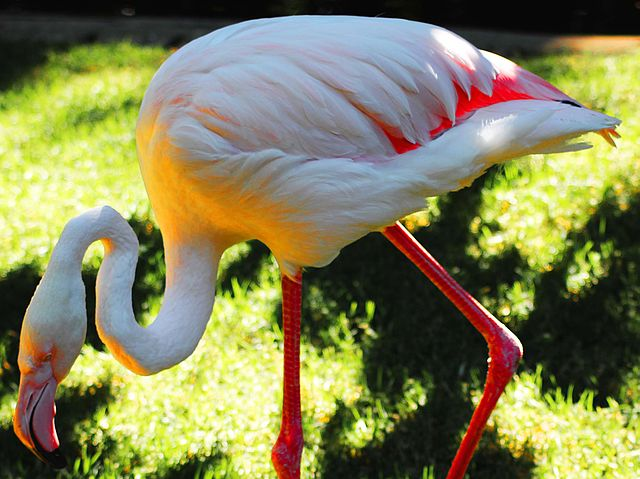 Greater, the Pink Flamingo
