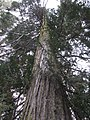 Old Growth Chamaecyparis lawsoniana - Flickr - theforestprimeval.jpg