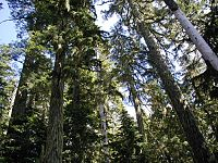 Old growth forest (usgs).jpg