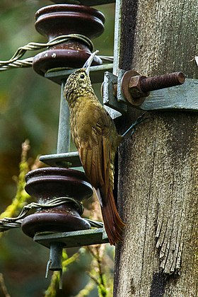 Olive-backed Woodcreeper - Ecuador S4E3621 (16568144480).jpg
