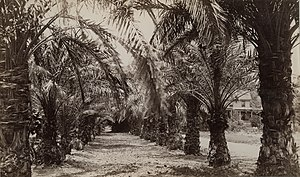 Hollister Ranch - Image: On Hollister's ranch, Santa Barbara Calif. Date palms which bear fine fruit (19934388330)