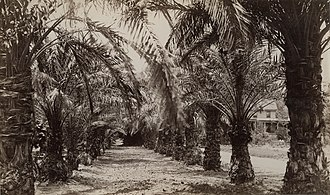 Hollister Ranch - Date palms on Hollister's ranch circa 1885.