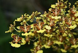 Oncidium polycladium 2.jpg