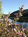 Ononis spinosa subsp. spinosa sl12.jpg