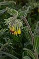 Onosma frutescens 1.jpg