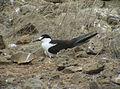 Onychoprion fuscatus Ascension Island 7.jpg