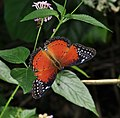 Open wing position of Male Cethosia biblis Drury, 1770 – Red Lacewing WLB DSC 0095.jpg