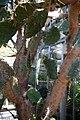 Opuntia engelmannii lindheimeri 2zz.jpg