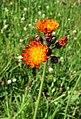 Orange Hawkbit - geograph.org.uk - 489770.jpg