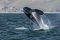 Orca, Killer Whale, breaching - Morro Bay, CA May 8, 2014 Orcinus orca.jpg