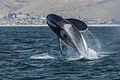 Orca, Killer Whale, breaching - Morro Bay, CA May 8, 2014 Orcinus orca.jpg