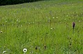 Orchideenwiese Bliesgau.jpg