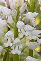 Orchis militaris pelouse-chezy-sur-marne 02 12052007 6.jpg