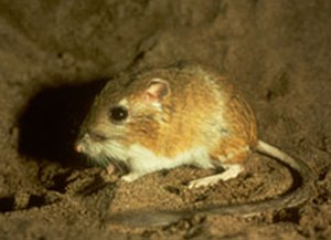 Ord's kangaroo rat - Image: Ord's kangaroo rat