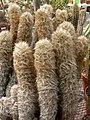 Oreocereus trollii 1.jpg