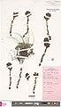 Orobanche alba herbarium (02).jpg