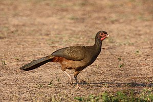 Chaco chachalaca - In the Pantanal, Brazil.