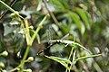 Orthetrum sabina eating Brachydiplax chalybea (3).jpg