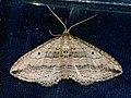 Orthonama vittata - Oblique carpet - Ларенция перевязанная (39147543970).jpg