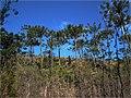 Os 2000 hectares que se encontravam degradados receberam plantio principalmente de coníferas do gênero Pinus (elliotti e taeda) as quais deverão ser suprimidas através de manejo florestal adequado, possi - panoramio.jpg