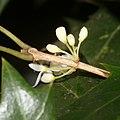 Osmanthus heterophyllus (bud).jpg