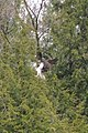 Osprey (Pandion haliaetus) - Kitchener, Ontario 02.jpg