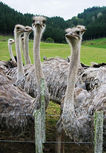 Ostriches (Struthio camelus) on a farm in New ...
