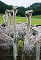 Ostriches on Waikato farm 2.jpg