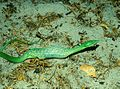 Oxybelis fulgidus in Lençóis Maranhenses National Park - ZooKeys-246-051-g007-A.jpeg