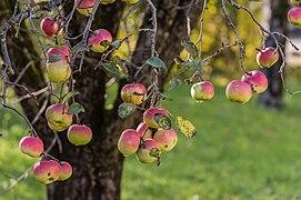 Pörtschach Zehnte-Oktober-Strasse Kronprinz-Rudolf-Äpfel am Baum 21102016 4635.jpg