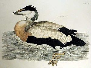 "Prideaux John Selby - Eider duck from ""Illustrations of British Ornithology"""