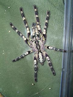 <i>Poecilotheria regalis</i> Species of arachnid