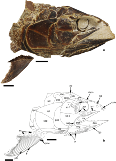 Pachycormiformes Extinct order of ray-finned fishes