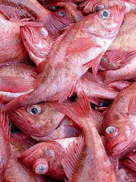 Pacific Ocean Perch (Sebastes alutus) are occasionally caught during trawls.jpg
