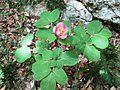 Paeonia mascula Velebit.jpg