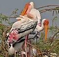 Painted Stork (Mycteria leucocephala) in Uppalapadu, AP W2 IMG 5064.jpg