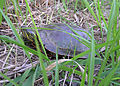 Painted turtle nwwd odfw (7489981950).jpg