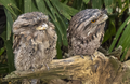 Pair of Frogmouths-1 (11423281214).png