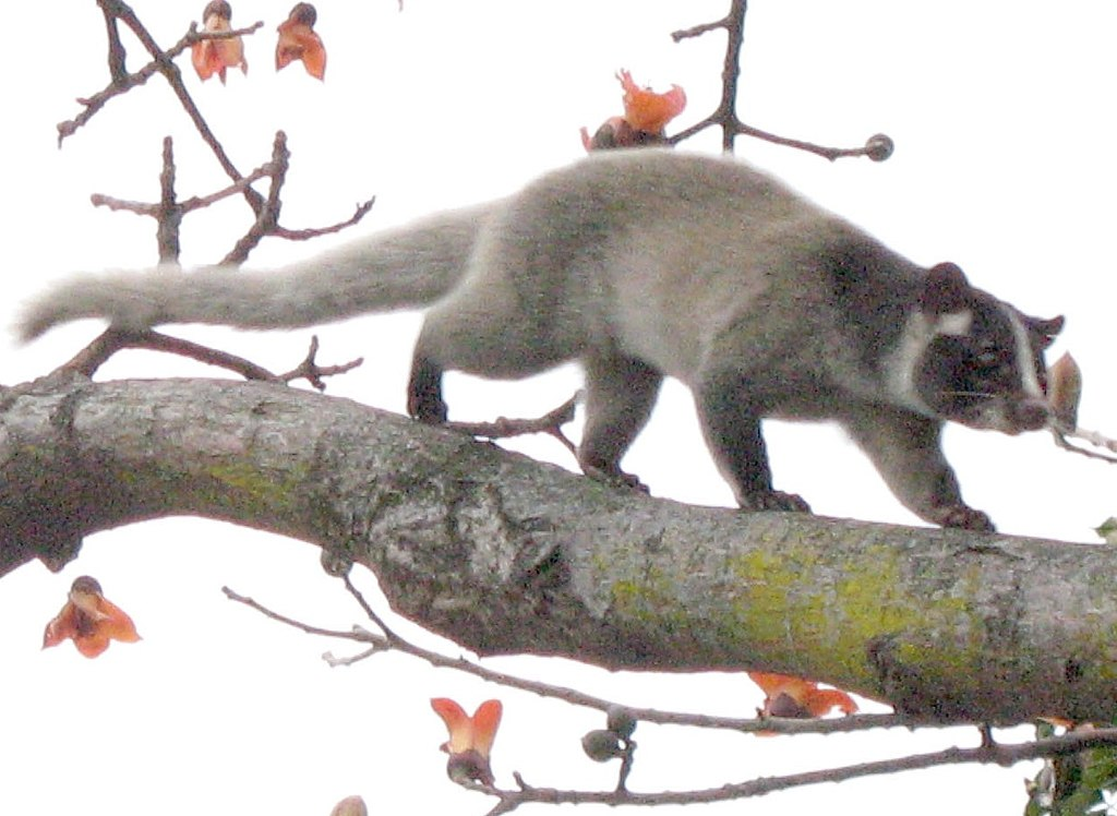 https://upload.wikimedia.org/wikipedia/commons/thumb/2/2a/Palm_civet_on_tree_%28detail%29.jpg/1024px-Palm_civet_on_tree_%28detail%29.jpg
