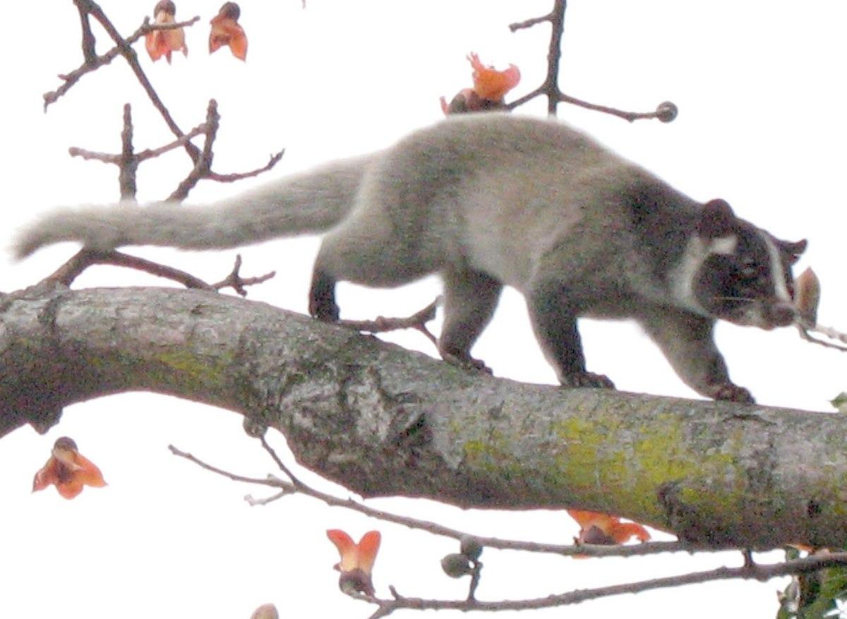 枝の上を歩くハクビシン