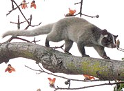 The masked palm civet (Paguma larvata) is thought to have been the source of SARS coronavirus