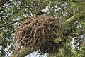 Palm nut vulture (Gypohierax angolensis) on nest.jpg