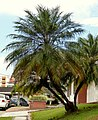 Palma Robelina (Phoenix roebelenii) (17) (14405047621).jpg