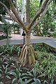 Palma de Cinta-Madagascar (1)(1) (11982891603).jpg