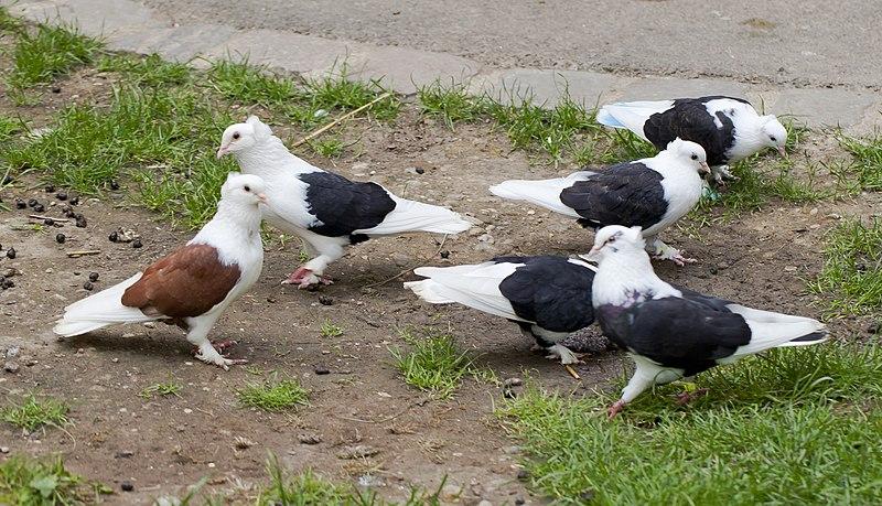 File:Paloma sajona del escudo, Tierpark Hellabrunn, Múnich, Alemania, 2012-06-17, DD 01.JPG