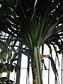 Pandanales - Pandanus tectorius var. australianus 2.jpg