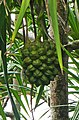 Pandanus thomensis à Ribeira Peixe (São Tomé) (2).jpg