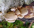 Panellus stipticus - Bitter Oysterling. Mycaenaceae - Flickr - gailhampshire (1).jpg